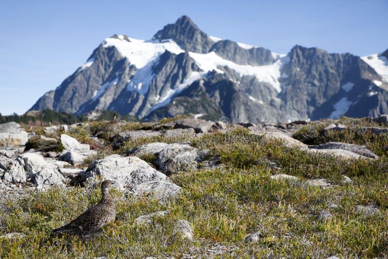 Le lagopède alpin dans le nord cascade le parc national image libre de droits