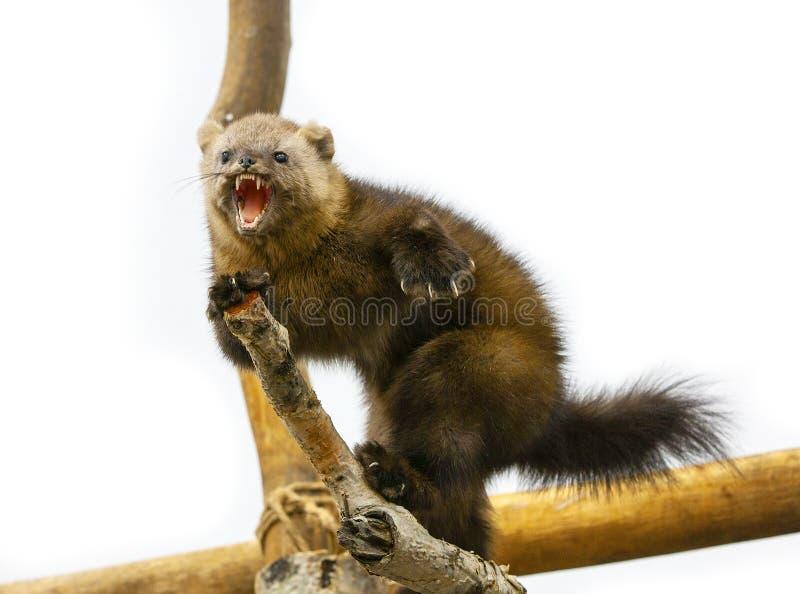 Le Lagopus d'Alopex de Fox arctique menace sur une branche d'arbre images stock