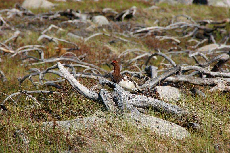 Le lagopus de Lagopus de lagopède alpin de saule photos stock