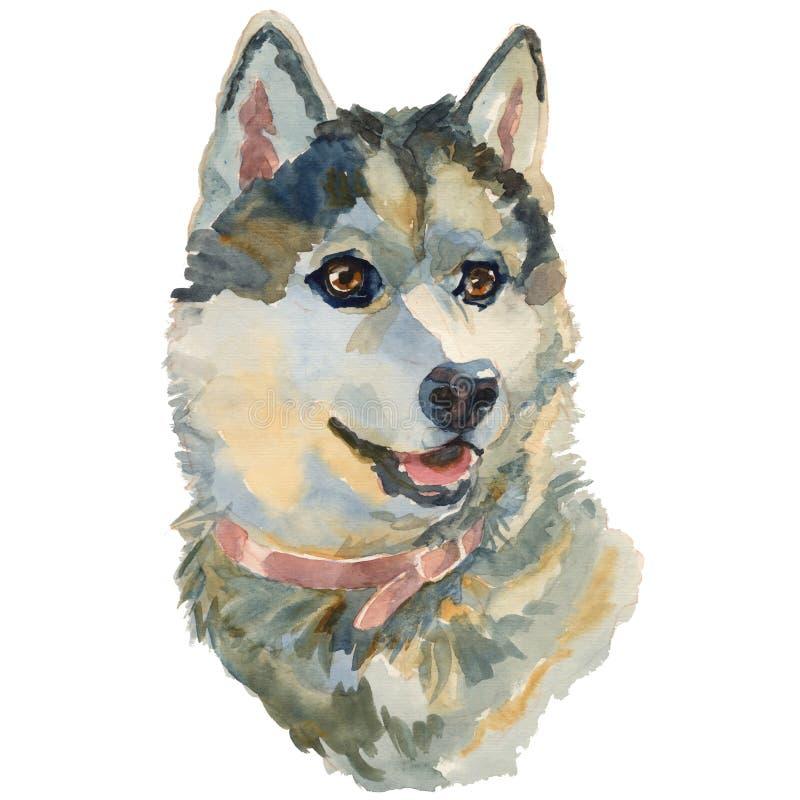 Le laika sibérien occidental, portrait peint à la main de chien d'aquarelle illustration de vecteur