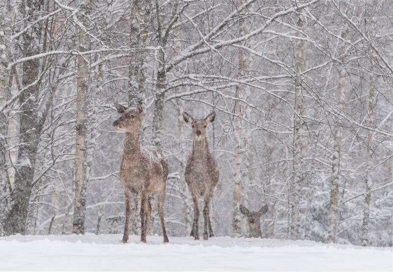 Le laisse neiger : Deux cervidés couverts de neige de cerfs communs rouges se tiennent sur les périphéries d'un cerf commun noble photographie stock libre de droits