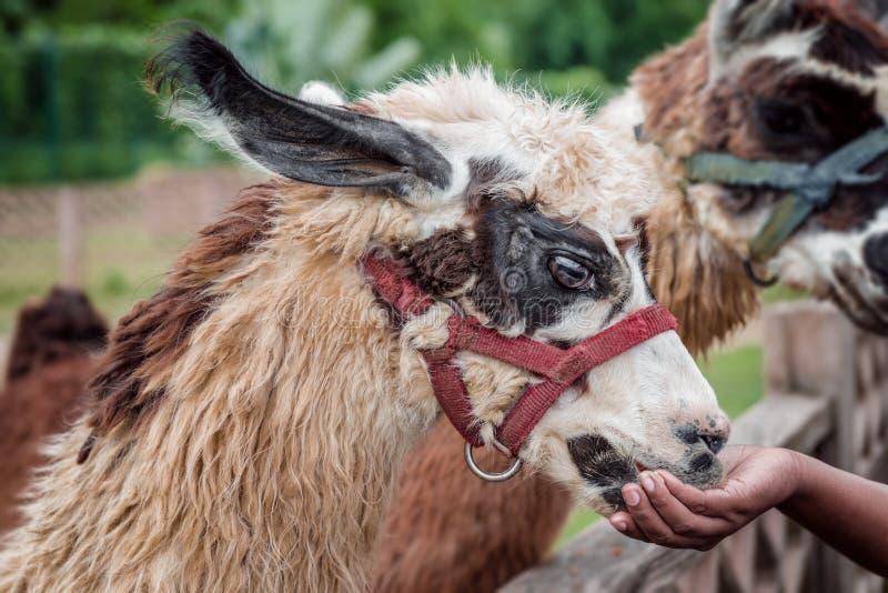 Le lama de alimentation à l'animal docile de safari de zoo d'animal familier mangeant du ` s de visiteur remettent la fourrure mo images stock