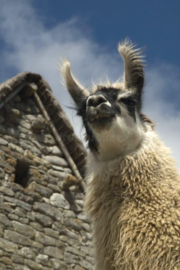 Le lama de Peruvain sourit au machu images libres de droits