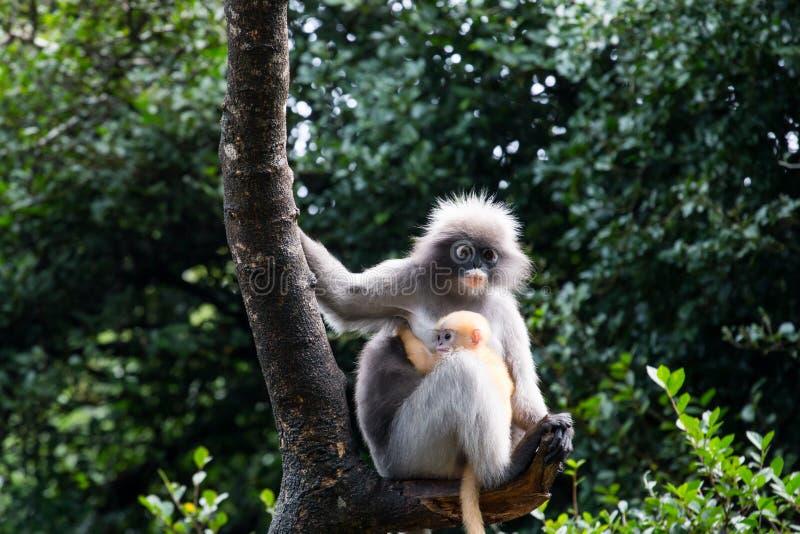 Le Langur ou le singe sombre de feuille est des résidents en Thaïlande (l'obscurus de Trachypithecus) image libre de droits