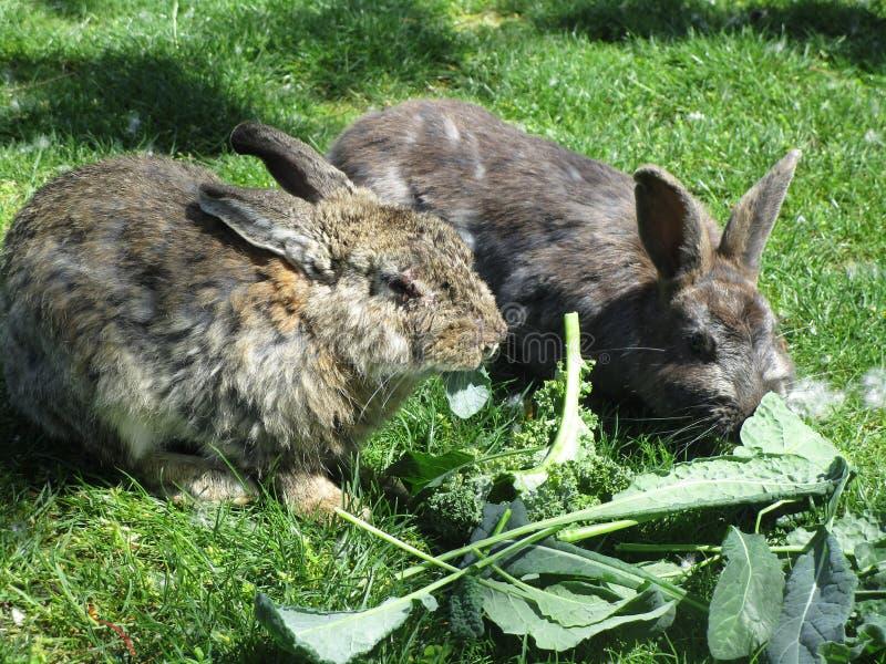 le lapin à l'air lumineux mais malade avec la maladie de peau alimentant sur les veggies verts frais se ferment vers le haut de 2 images libres de droits