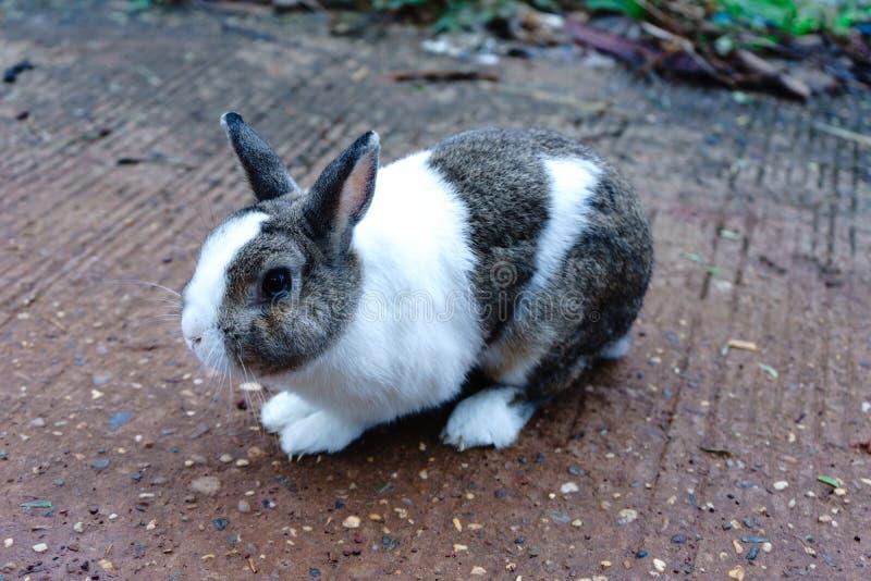 le lapin Blanc-brun sont cinq années C'est un bel animal photo stock