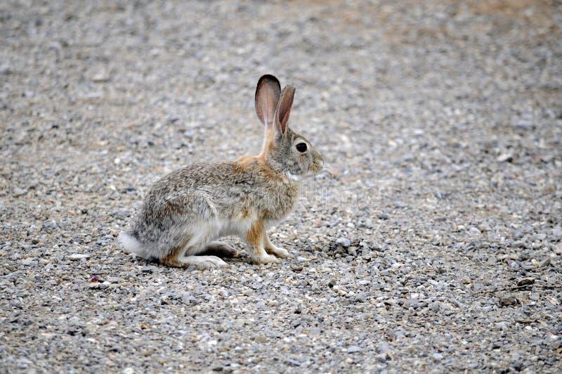 Le lapin de Texas Cottontail a fait une pause et alerte image libre de droits
