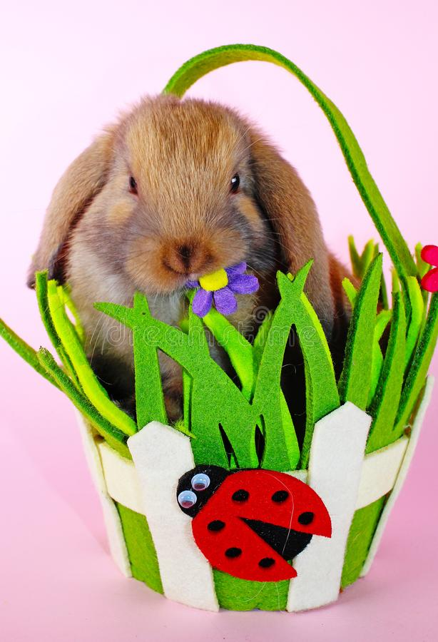 Le lapin mini taillent le lapin sur le panier de Pâques de ressort Bleu de Thuringian photographie stock libre de droits