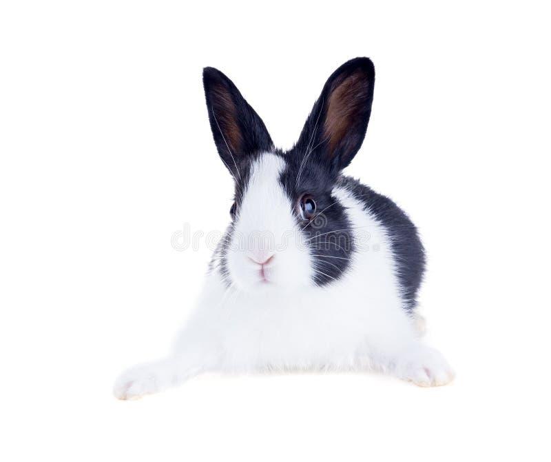 Le lapin néerlandais, également connu sous le nom de Hollandais ou Brabander D'isolement photo libre de droits