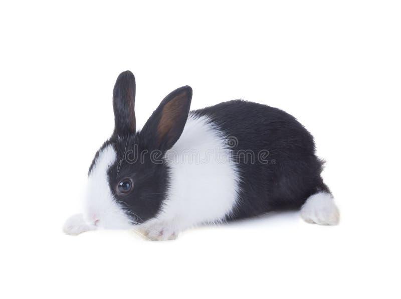 Le lapin néerlandais D'isolement sur le fond blanc photos libres de droits