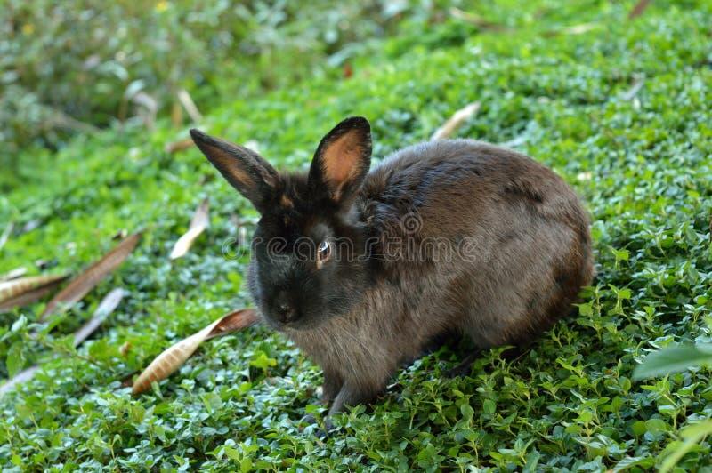 Le lapin noir vous regarde photo libre de droits
