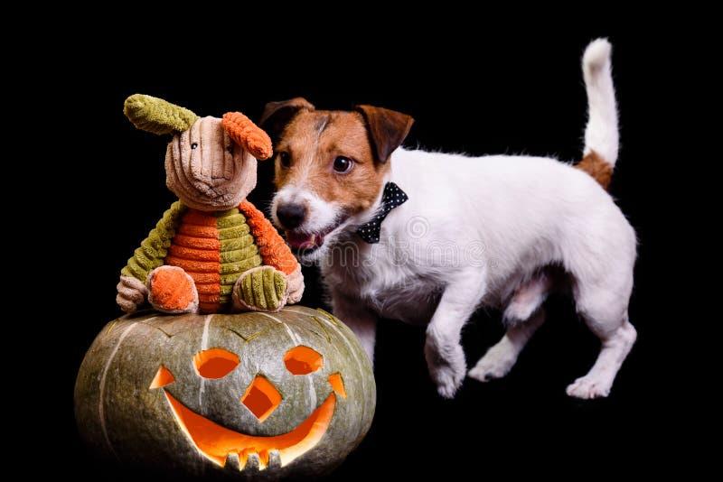Le lapin sur le ` traditionnel t de doesn de potiron de Halloween voient le danger rampant par derrière photo stock