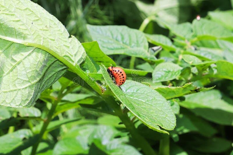 Le larav de scarabée de potatoe fixé à une feuille photos stock