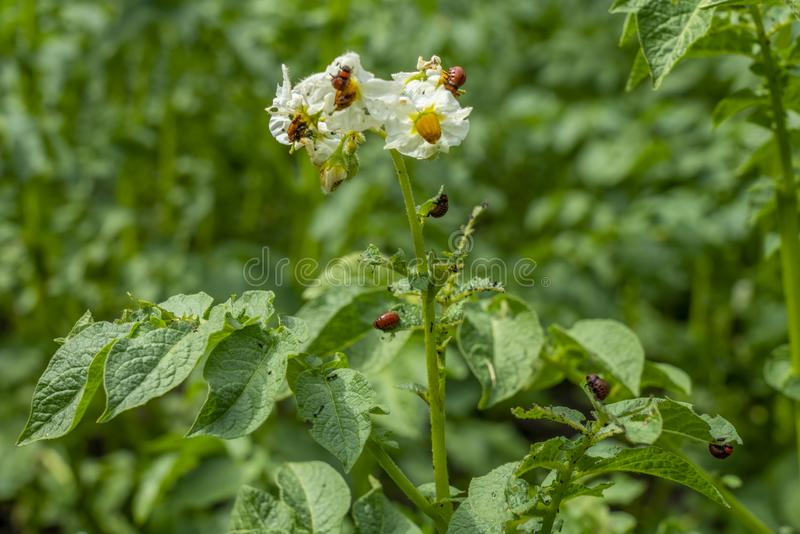 Le larve della dorifora della patata mangiano le foglie ed i fiori della patata Bush fotografia stock libera da diritti