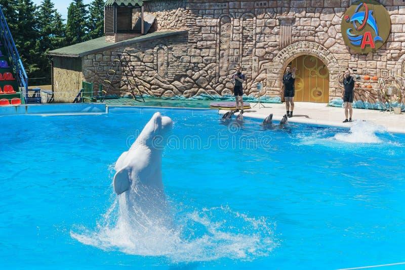 Le lat blanc Leucas de Delphinapterus, lat de dauphins de bottlenose Truncatus de Tursiops sautant par-dessus l'eau à l'expositio images stock
