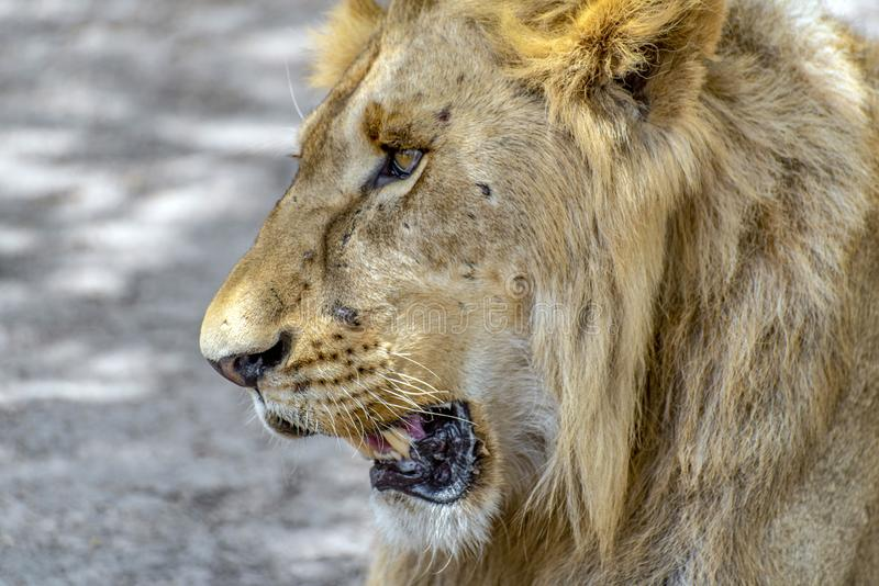 Le Lat masculin africain de lion Panthera Lion Portrait photographie stock