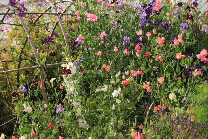 Le Lathyrus de floraison dans le cottage font du jardinage en Angleterre pendant l'été photos libres de droits