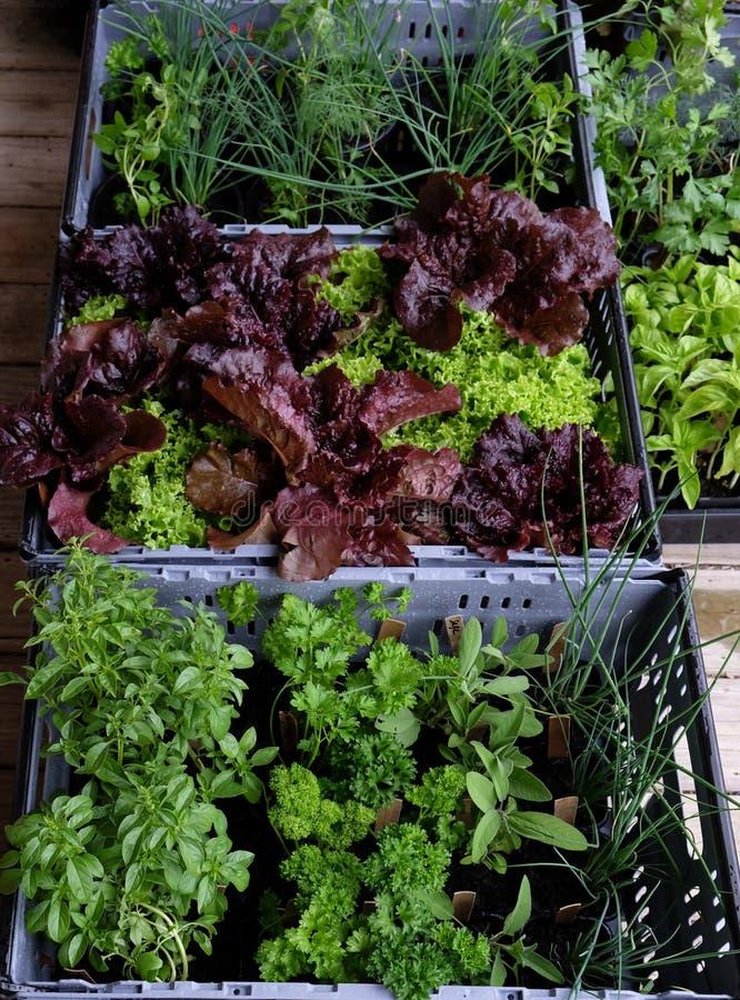 Le lattughe e le erbe organiche in vasi hanno imballato in gabbie di plastica per fotografie stock libere da diritti