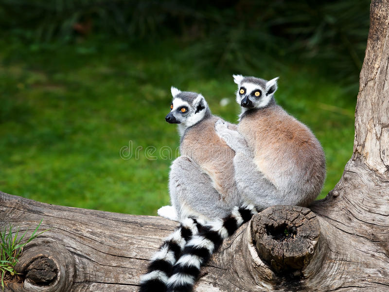 Le Lemur Ring-tailed image stock