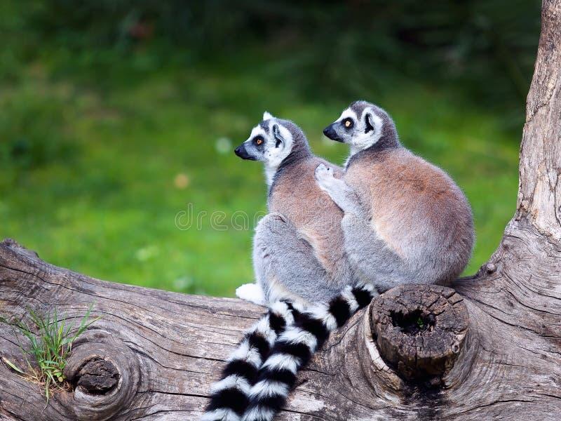 Le Lemur Ring-tailed image libre de droits