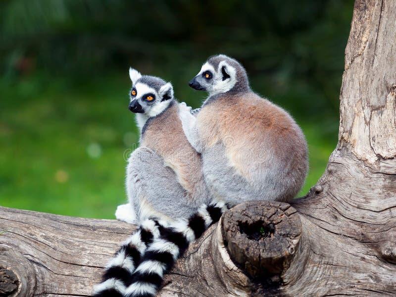 Le Lemur Ring-tailed photo stock