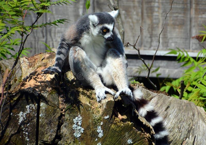 Le Lemur Ring-tailed photos libres de droits