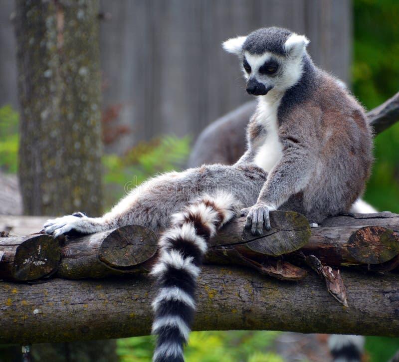 Le Lemur Ring-tailed photographie stock libre de droits
