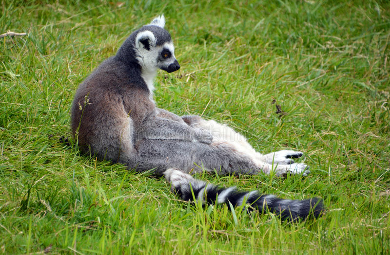 Le Lemur Ring-tailed photographie stock