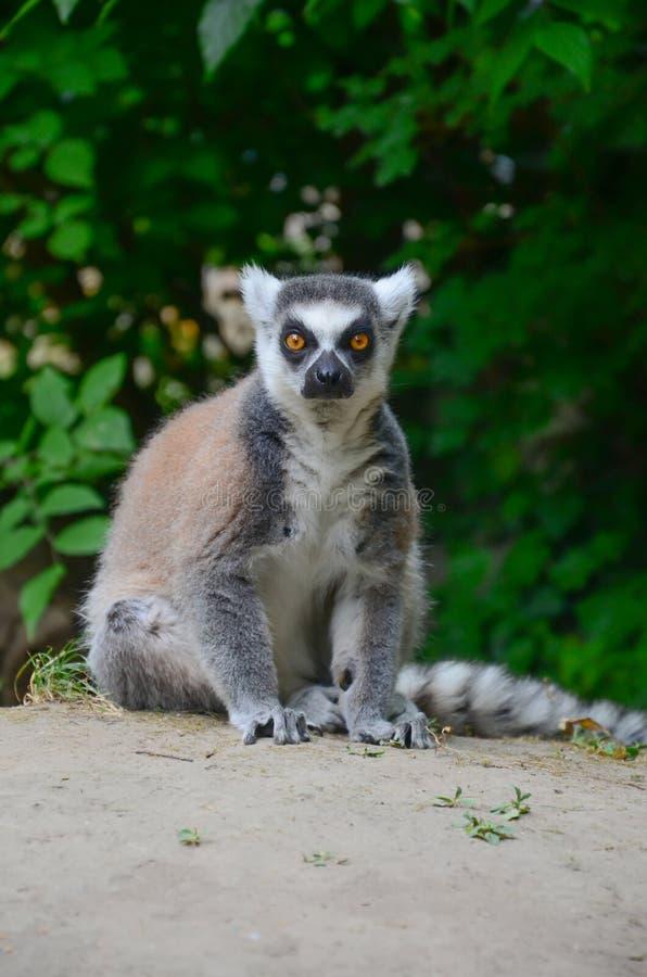 Le Lemur Ring-tailed photos stock