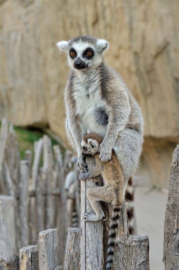 Le lemur ring-tailed du Madagascar avec l'animal photographie stock libre de droits