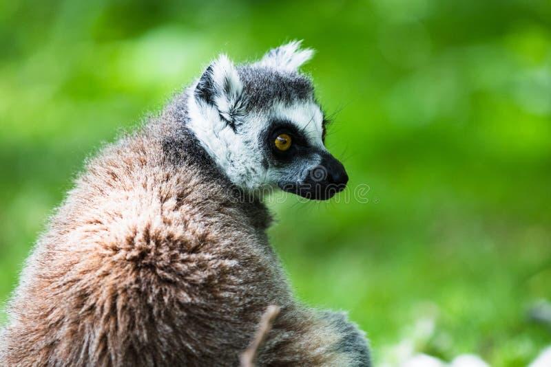 Le lemure catta, originalmente dal Madagascar, sono riconoscibili dalla sua coda nera e bianco-anellata immagine stock libera da diritti
