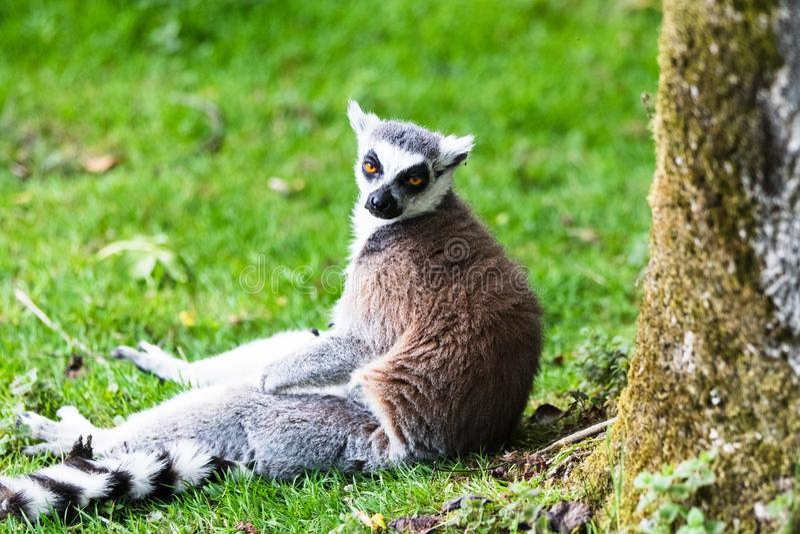 Le lemure catta, originalmente dal Madagascar, sono riconoscibili dalla sua coda nera e bianco-anellata fotografie stock