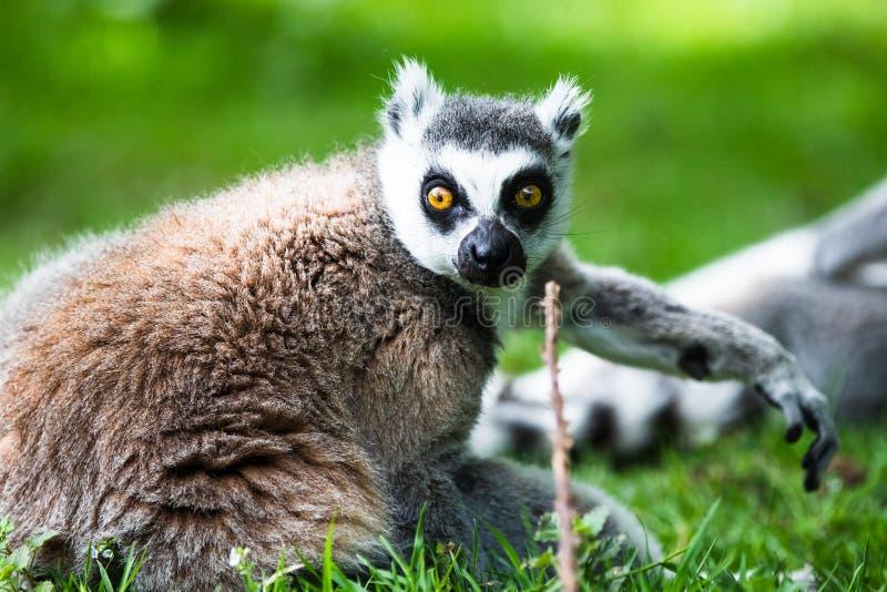 Le lemure catta, originalmente dal Madagascar, sono riconoscibili dalla sua coda nera e bianco-anellata fotografie stock libere da diritti