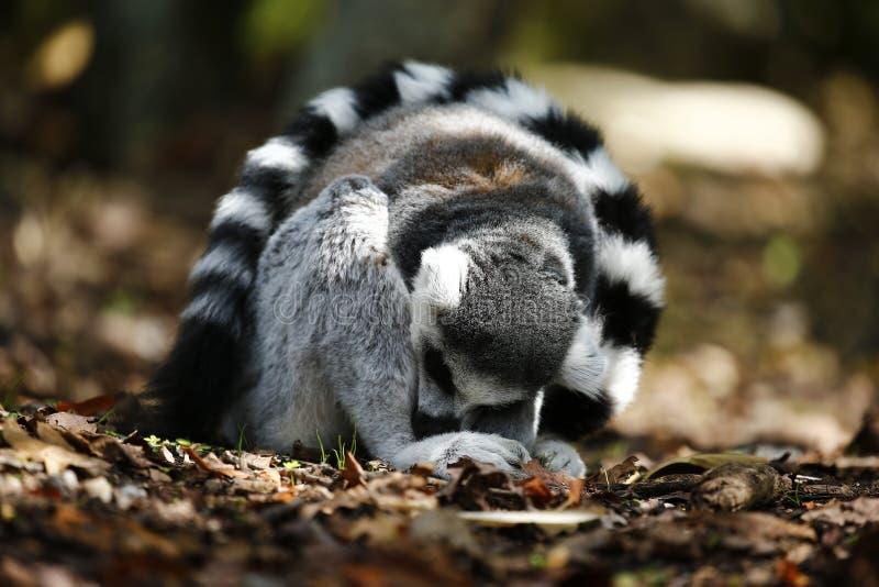 Le lemure catta si sono rannicchiate su con la sua coda come parasole fotografia stock libera da diritti