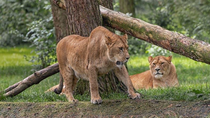 Le leonesse stanno riposando Paesaggio nel parco di safari fotografie stock