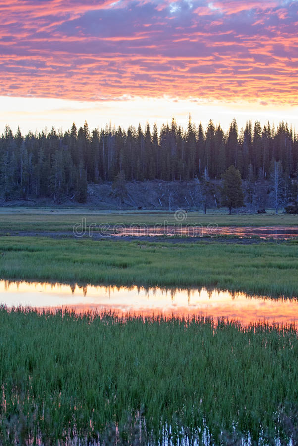 Le lever de soleil rose s'est reflété dans l'herbe de l'eau à la crique de pélican en parc national de Yellowstone au Wyoming photos stock