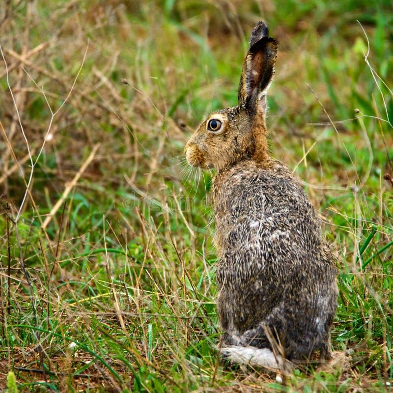 Le lièvre européen humide se tient sur l'europaeus de Lepus d'herbe photos libres de droits