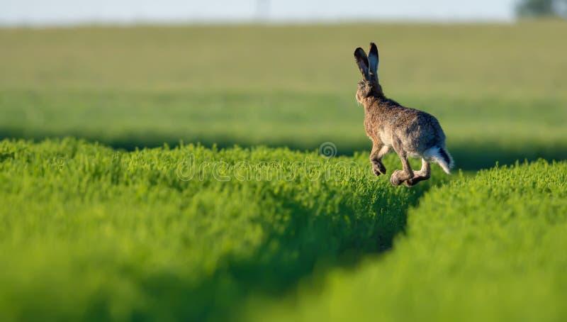Le lièvre européen saute haut dans le ciel au-dessus de l'herbe verte photographie stock