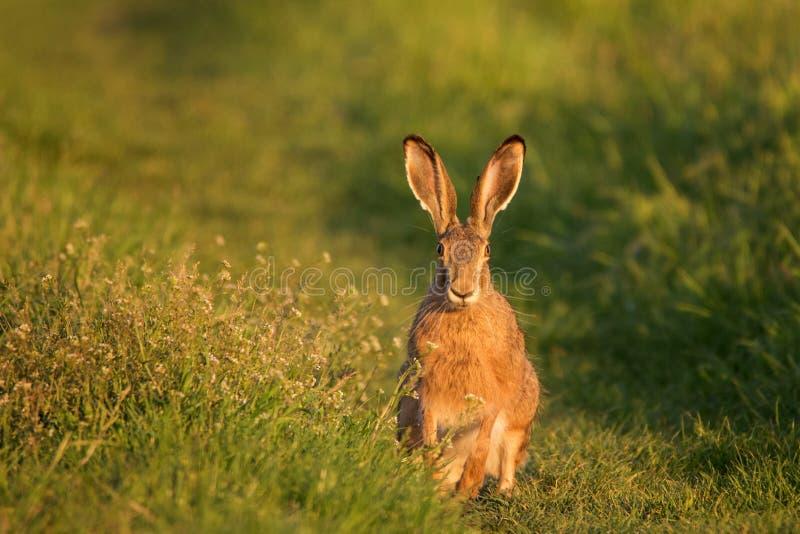 Le lièvre européen se tient sur l'herbe sur un bel europaeus de Lepus de lumière de soirée images libres de droits