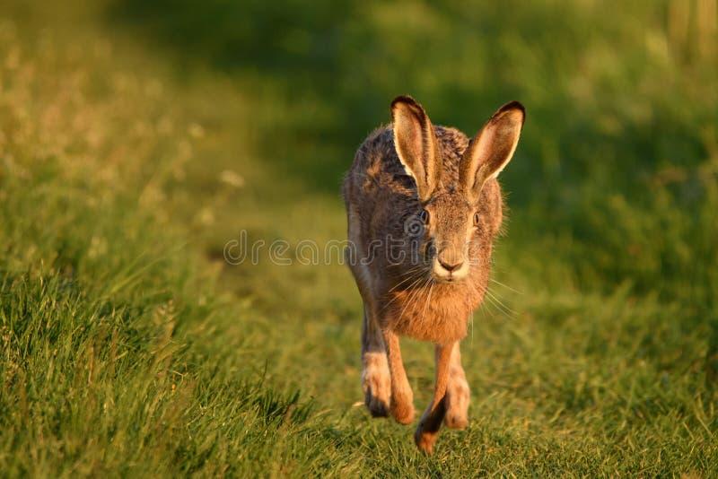 Le lièvre européen se tient sur l'herbe sur un bel europaeus de Lepus de lumière de soirée image libre de droits