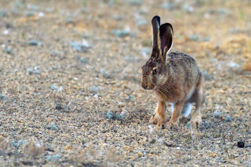 Le lièvre européen se tient sur la terre et regarder l'europaeus de Lepus d'appareil-photo images libres de droits