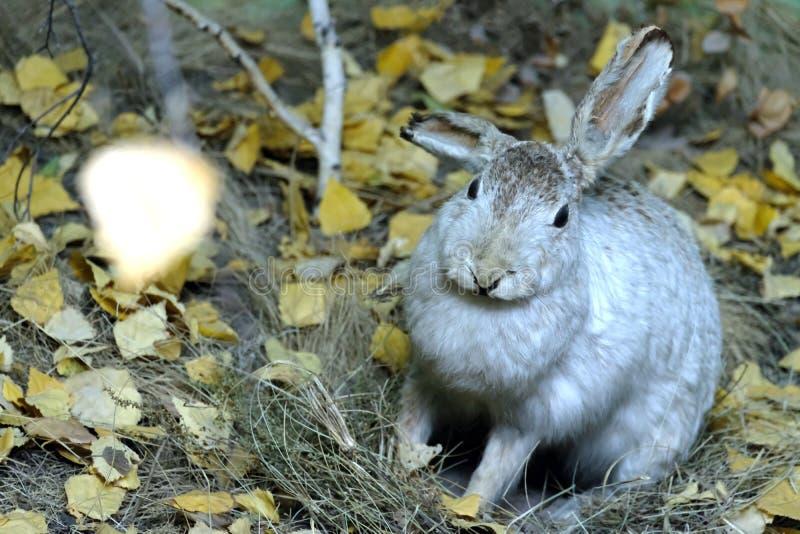 Le lièvre se repose dans l'herbe parmi le feuillage jaune d'automne photo stock