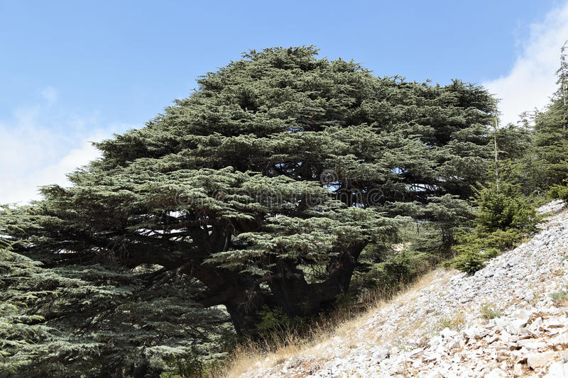 Le Liban Cedar Forest photographie stock