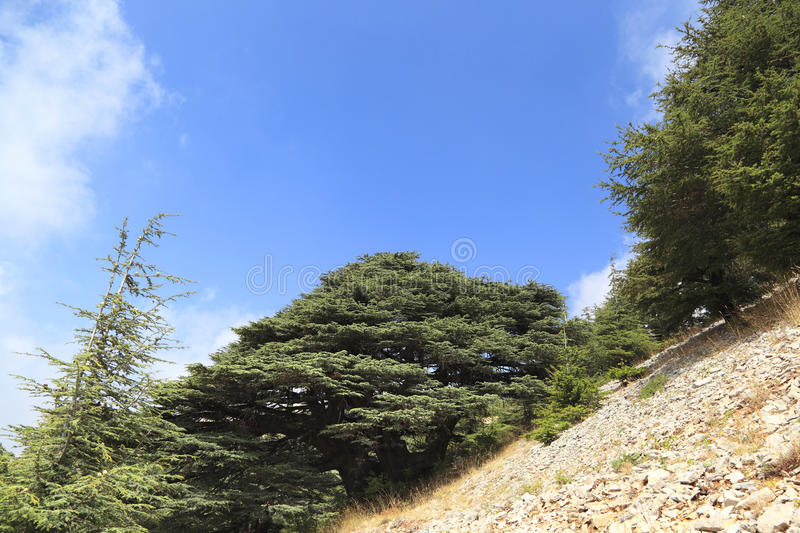 Le Liban Cedar Forest photo libre de droits
