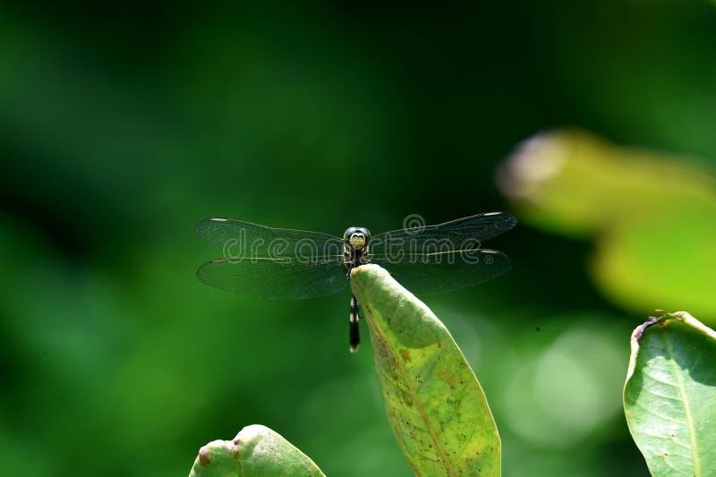 Le libellule verdi si appollaiano sulle foglie verdi nel giardino floreale fotografia stock