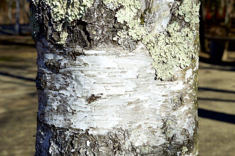 Le lichen du bouleau blanc photographie stock