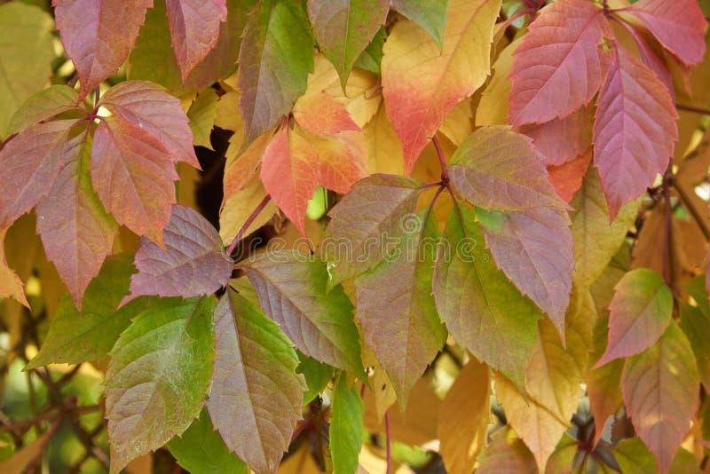 Le lierre d'automne part dans le contre-jour sur un fond de grille en métal photos stock
