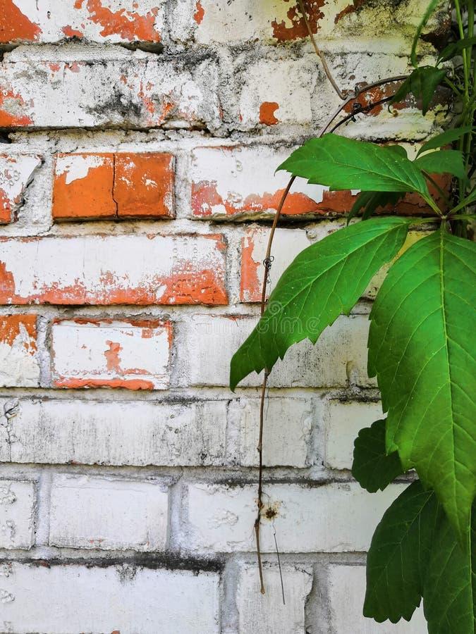 Le lierre de Beautyful laisse à feuillage vert l'usine florale naturelle et la barrière de brique rouge au soleil image stock