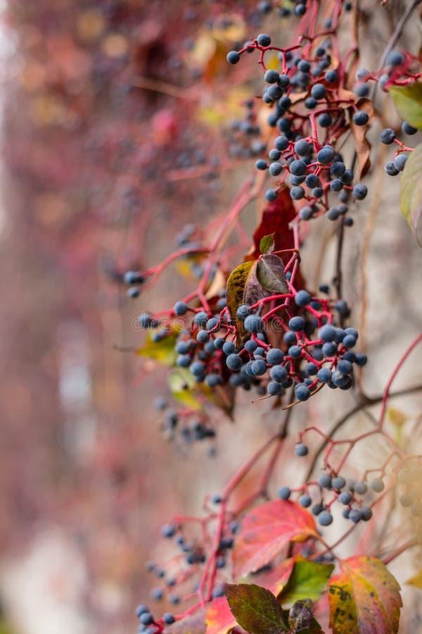 Le lierre part et les graines ont tourné le rouge pendant quelques semaines pendant la saison d'automne, fin vers le haut de vue  photo stock
