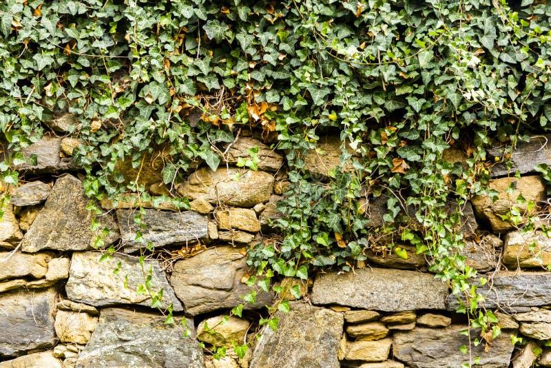 Le lierre vert sur un mur en pierre photos stock